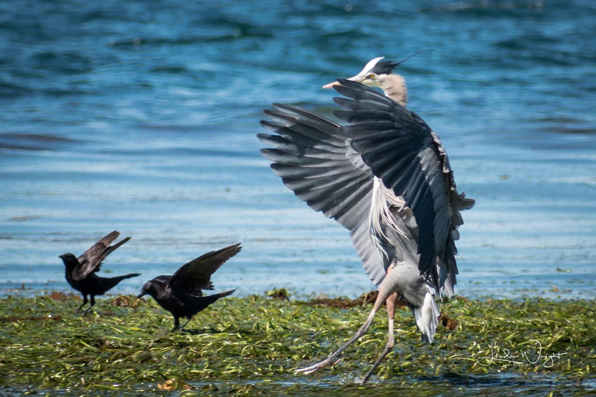 Landing near crows. Photo courtesy Linda Wright Photography.