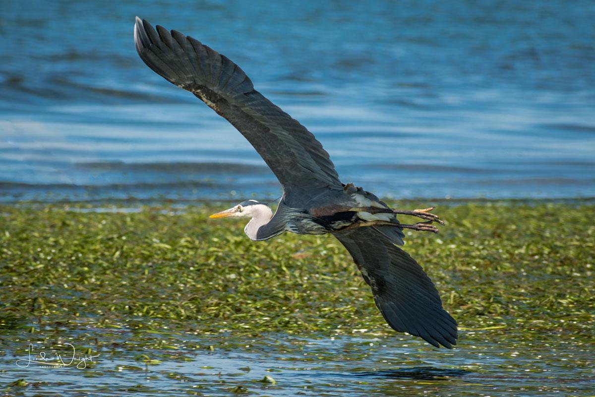 Great Blue Heron at low tide on Bellingham Shoreline.
