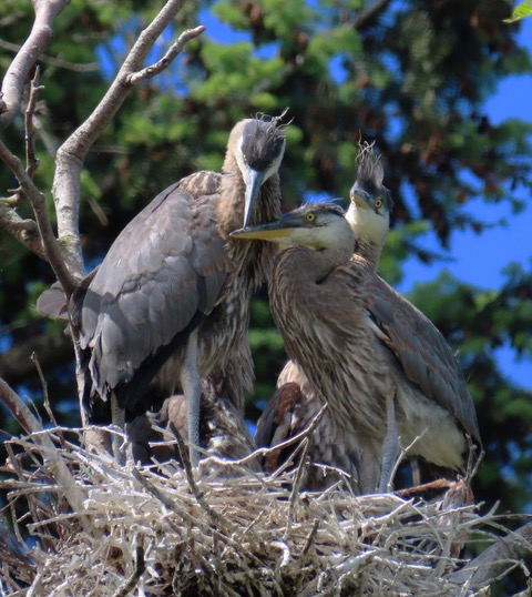 Cute trio of young fledgling herons in their nest.