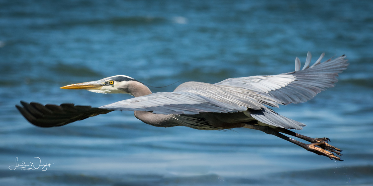 Great Blue Heron along Bellingham Bay shoreline. Photo courtesy of Linda Wright Photography.