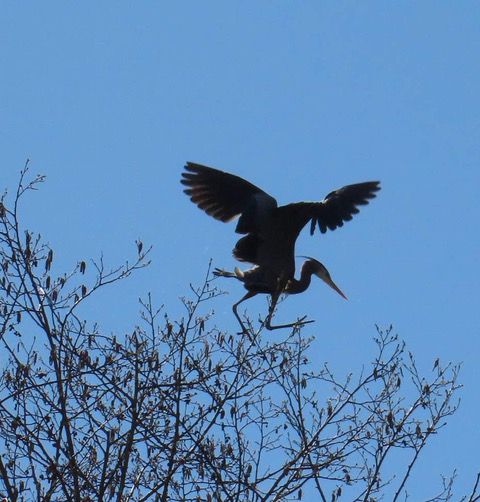 7aa62593 Bellingham Heron Colony Threatened by Development - Again   Northwest  Citizen