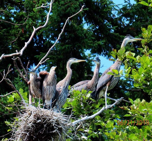 Almost ready to leave the nest. Photo courtesy of Nancy Downing.