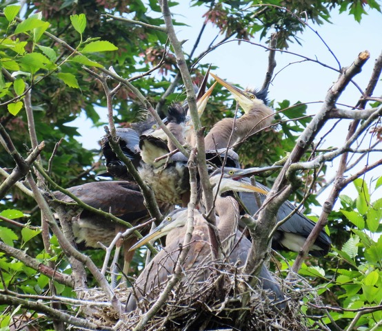 Fledgling Great Blue Herons Need Our Help